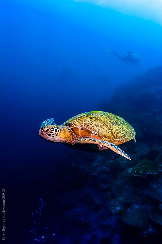 Green Sea turtle swimming in the blue ocean underwater in Malaysia by Soren Egeberg for Stocksy United
