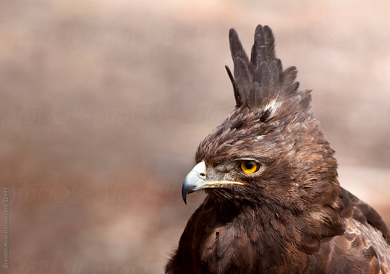 Long Crested Eagle Closeup Headshot by Brandon Alms for Stocksy United