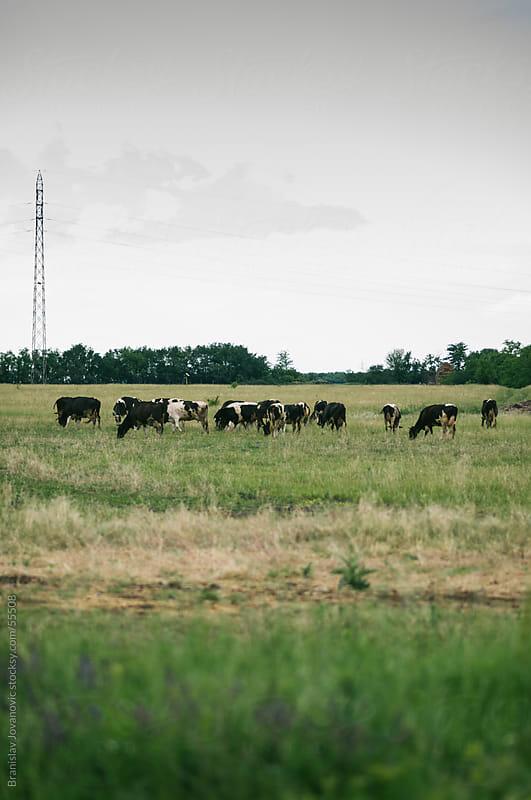 Herd of cows on green meadow by Branislav Jovanović for Stocksy United