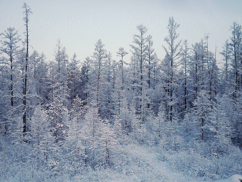 Roadside trees covered in ice. by Amos Chapple for Stocksy United