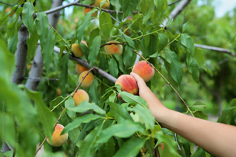 A Hand Reaching Out To Pick A Ripe Peach Off A Tree by ALICIA BOCK for Stocksy United