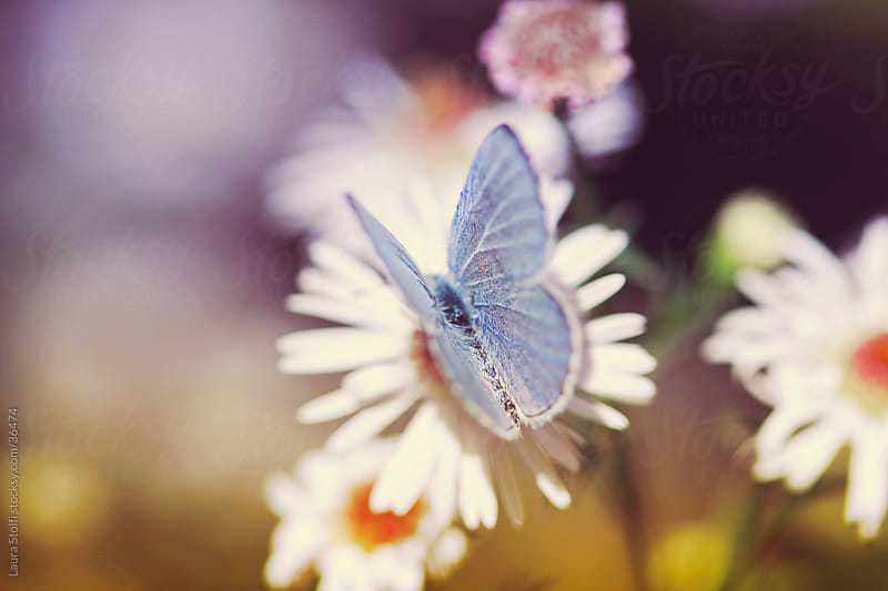 Common blue (Polyommatus icarus) butterfly on white Aster flowers in sunset light by Laura Stolfi for Stocksy United