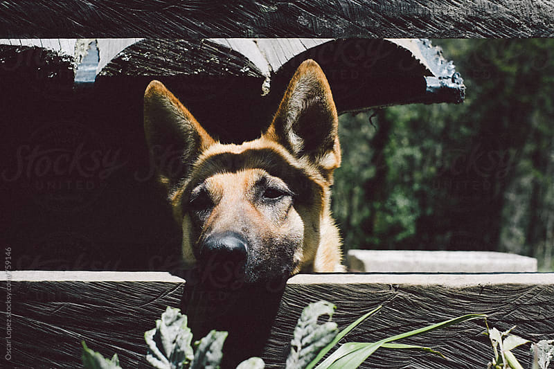 Dog looking through a fence by Oscar Lopez for Stocksy United