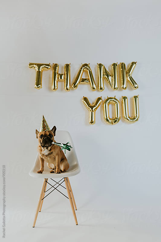 Gold Thank You Balloon Letters and French Bulldog Puppy Wearing a Party Hat by Rachel Gulotta Photography for Stocksy United