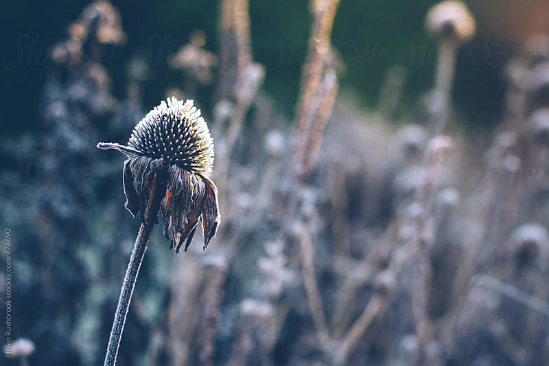 Hoar frost on an echinacea seed head. by Helen Rushbrook for Stocksy United