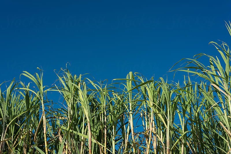 sugar cane waving in the wind against a blue sky by Gillian Vann for Stocksy United