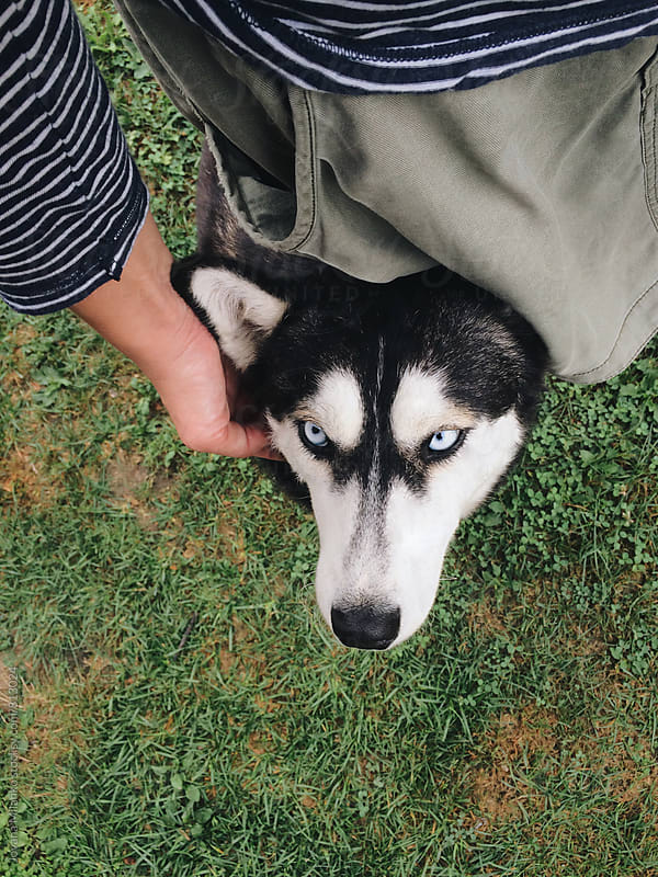 Husky dog looking at the camera  by Jovana Milanko for Stocksy United