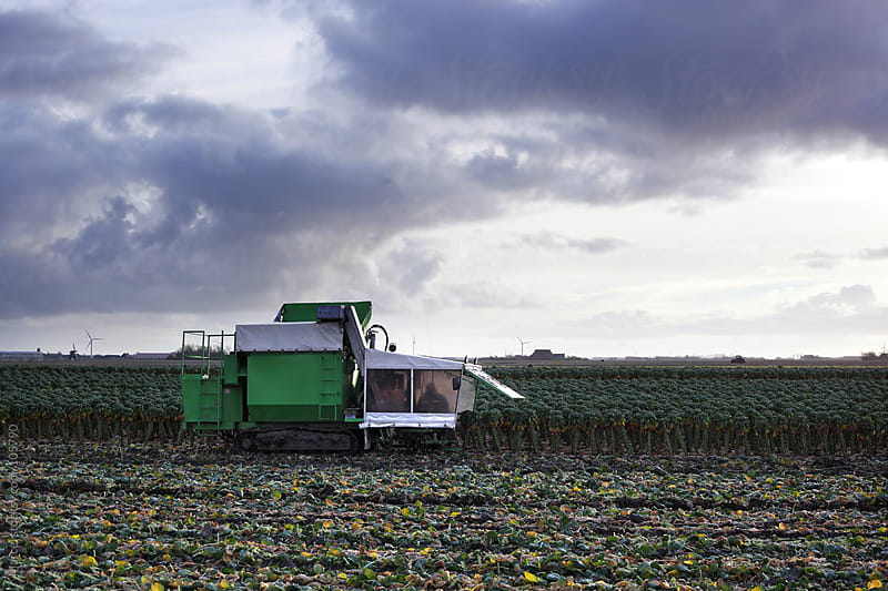 Harvesting brussel sprouts by Marcel for Stocksy United