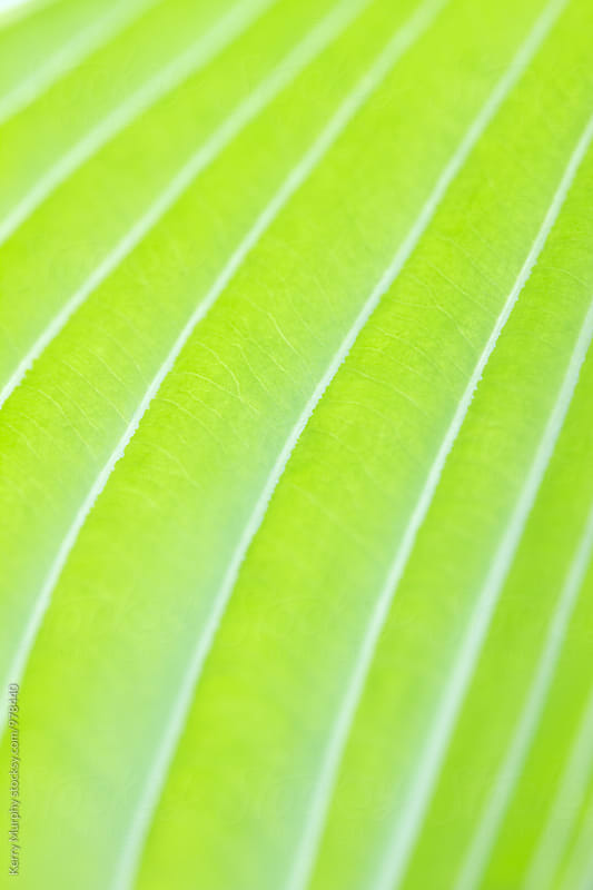 Abstract macro of green hosta leaf by Kerry Murphy for Stocksy United