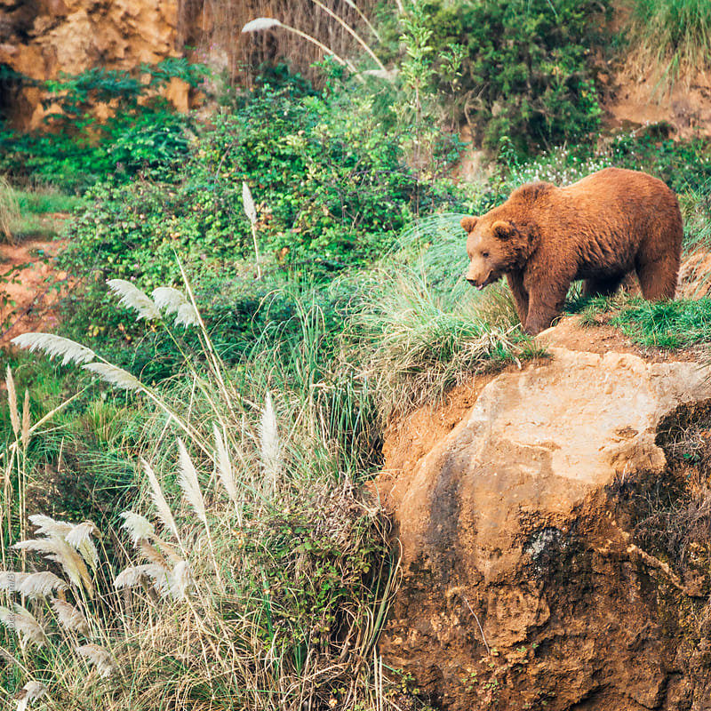 Adult brown bear in a mountain by ACALU Studio for Stocksy United