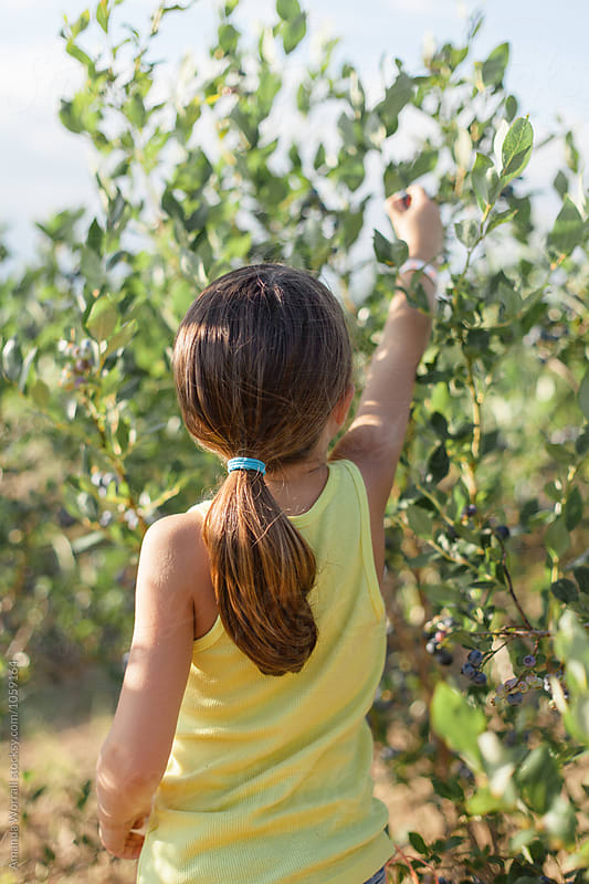 A girl reaching high to pick fresh blueberries by Amanda Worrall for Stocksy United