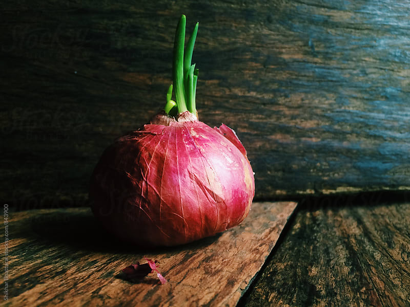 Sprouted Onion. by Shikhar Bhattarai for Stocksy United