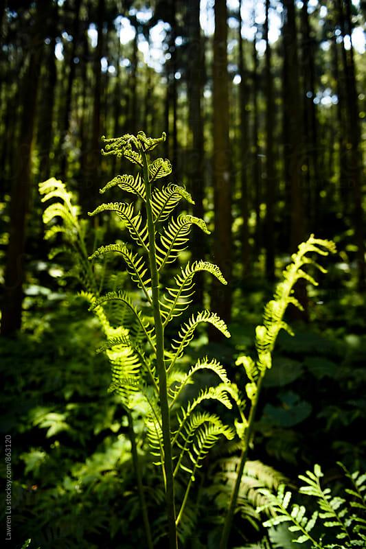 Newborn fern under sunlight in forest by Lawren Lu for Stocksy United