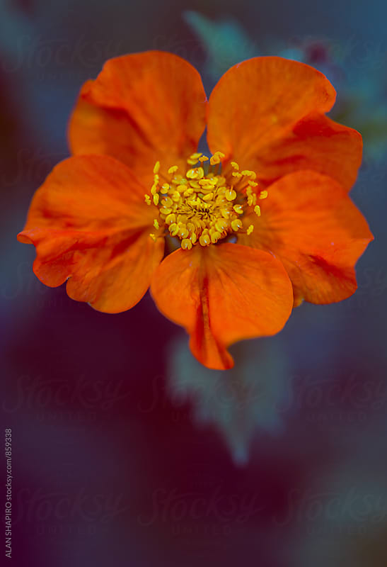 Dwarf orange Geum by alan shapiro for Stocksy United