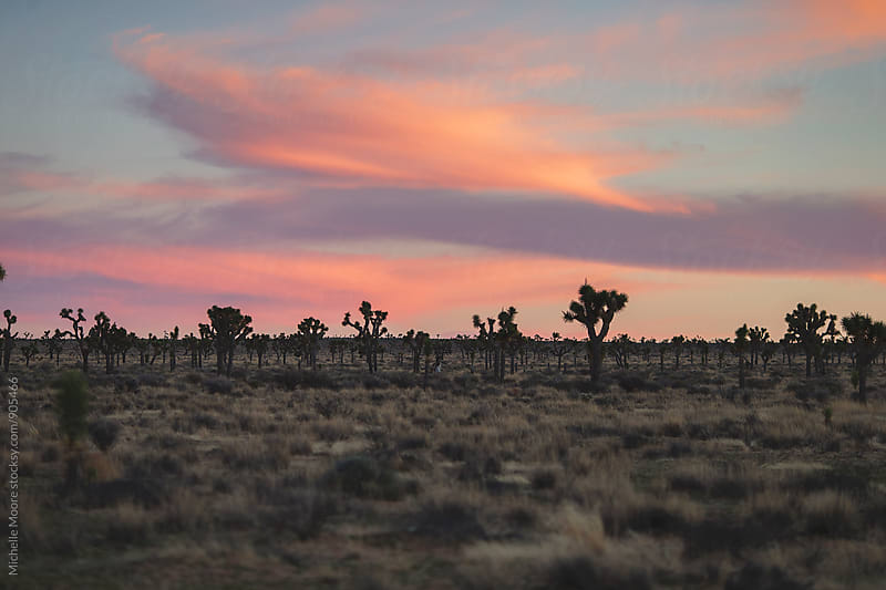 Orange sunset over Joshua Tree by Michelle Moore for Stocksy United
