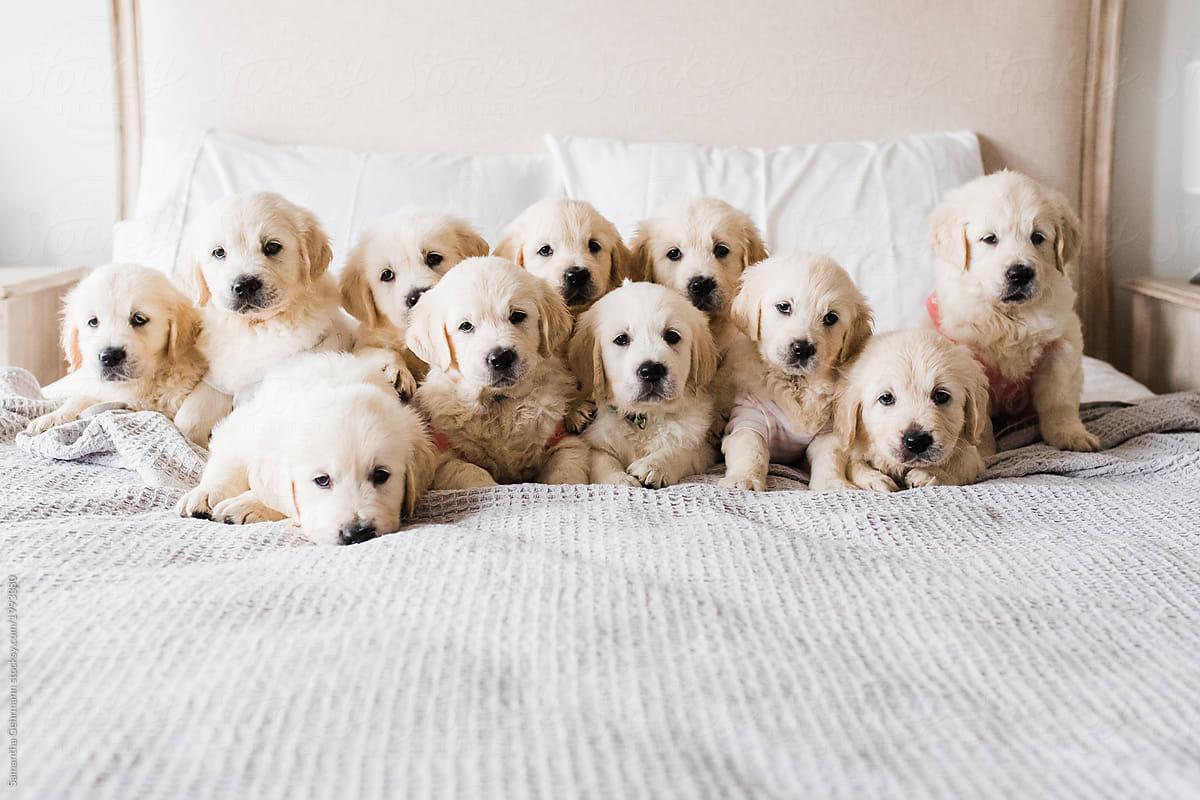 Litter Of 11 English Cream Golden Retriever Puppies Por Samantha Gehrmann Stocksy United