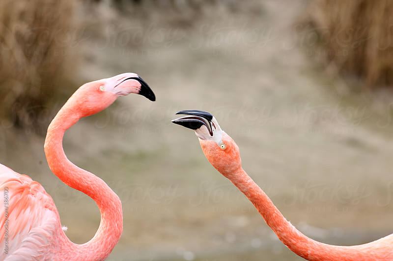 Two flamingo's having a fight by Marcel for Stocksy United