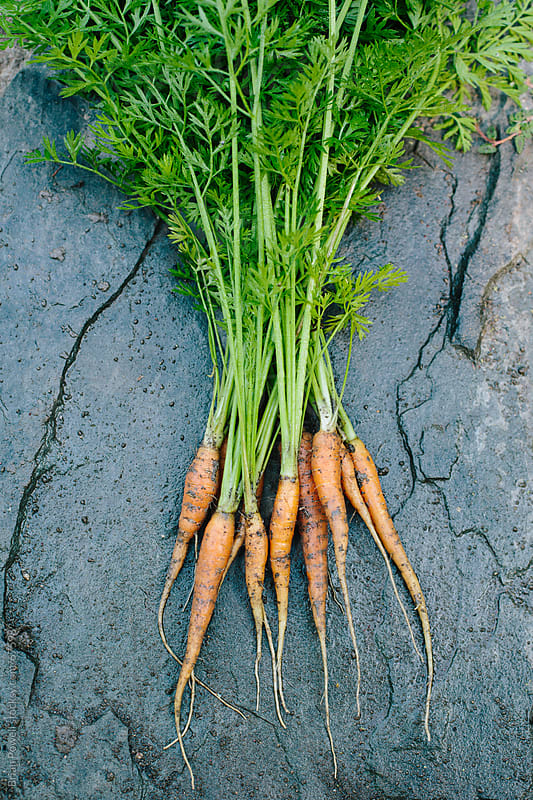 small carrots just picked from the garden by Brian Powell for Stocksy United