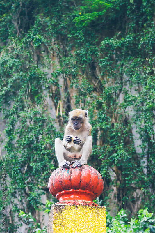 Monkey by Good Vibrations Images for Stocksy United