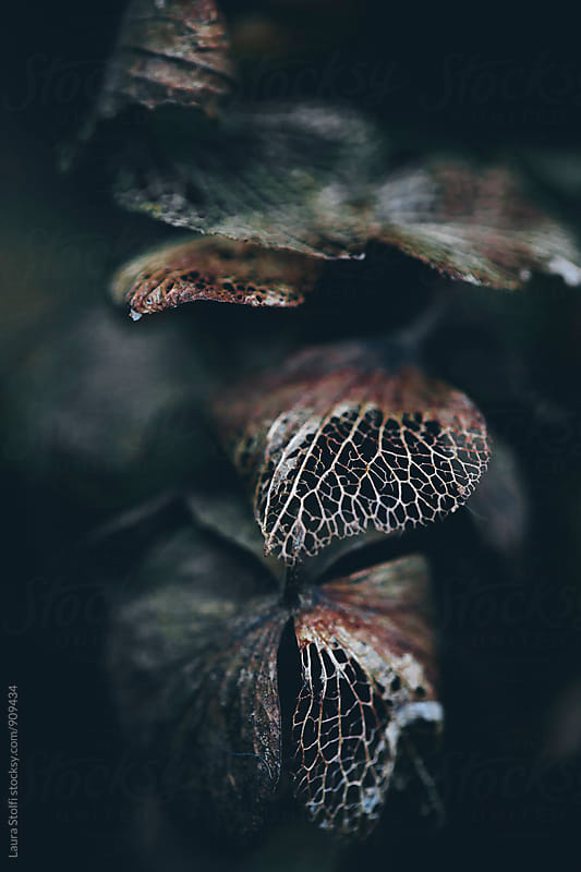Dark black, brown and red rotting hydrangea petals by Laura Stolfi for Stocksy United