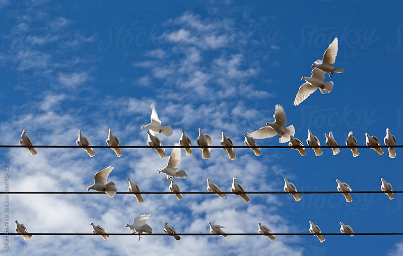 Group of White Pigeons Landing on Wires by Brandon Alms for Stocksy United