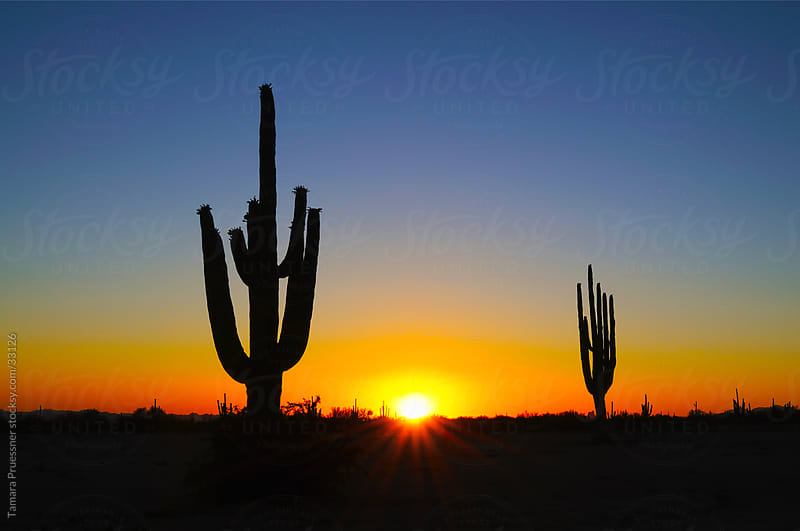 Silhouette of Saguaro Cactus At Sunset by Tamara Pruessner for Stocksy United