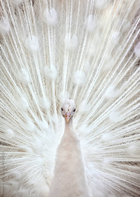White Peacock With Feathers Open by Brandon Alms for Stocksy United