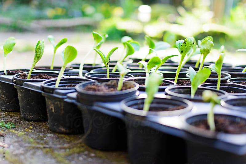 Young pumpkin seedlings in pots by Harald Walker for Stocksy United