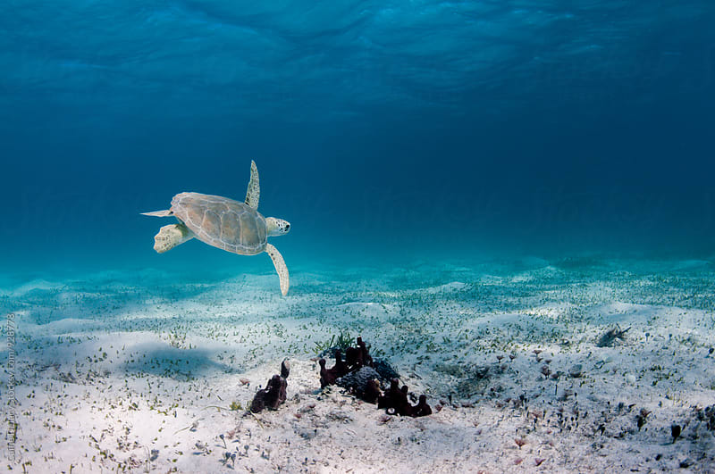 Sea turtle in shallow water flying over sand by Caine Delacy for Stocksy United