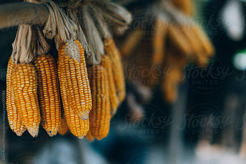 Cobs of Corn drying in the Sun by Gary Radler Photography for Stocksy United