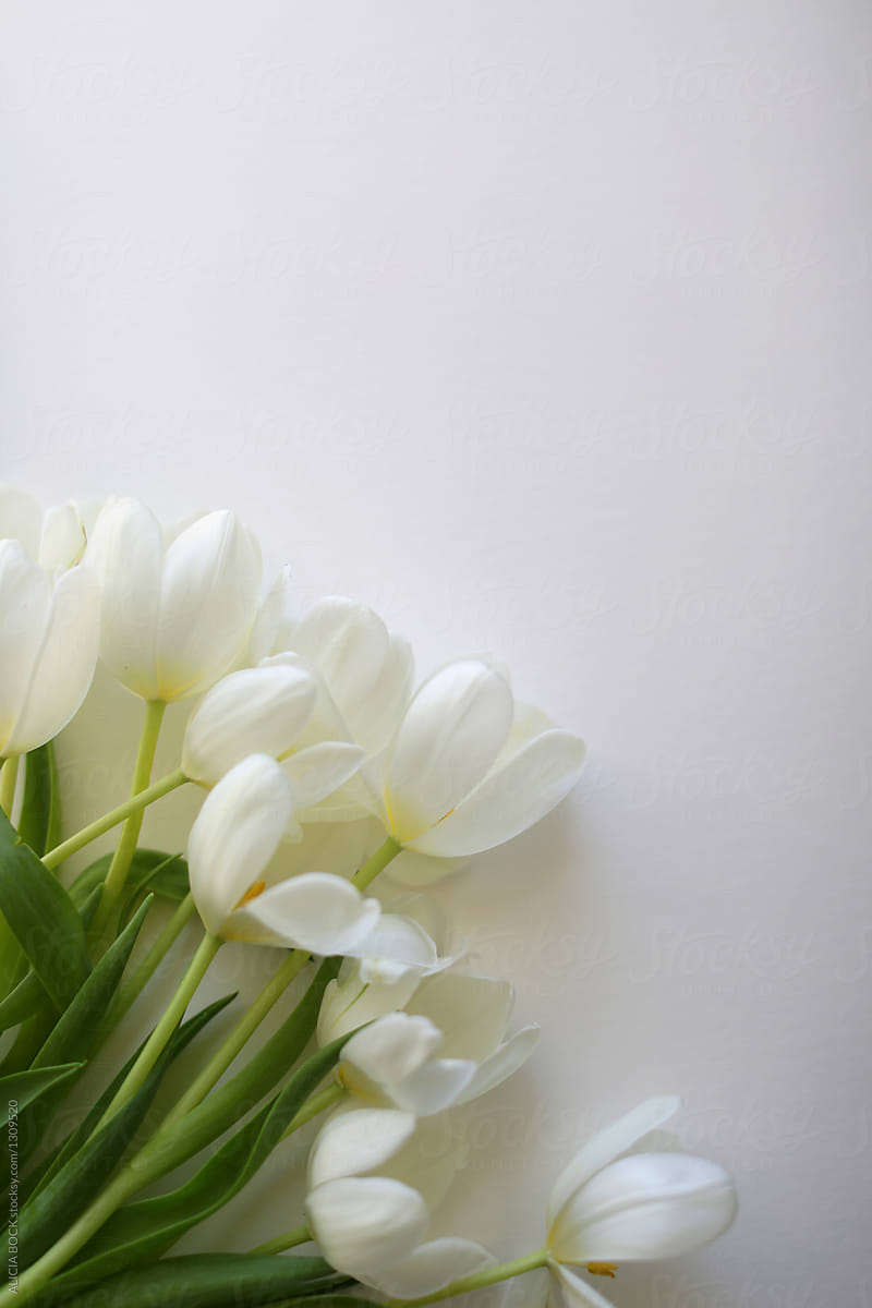 A Collection Of Fresh White Tulip Flowers Bending Towards The Light