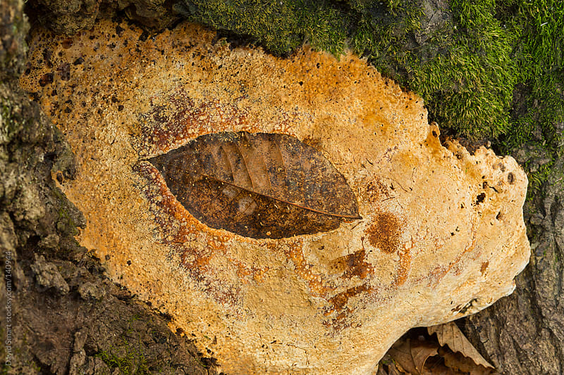 Fallen tree leaf embedded in a fungus growing at base of tree by David Smart for Stocksy United