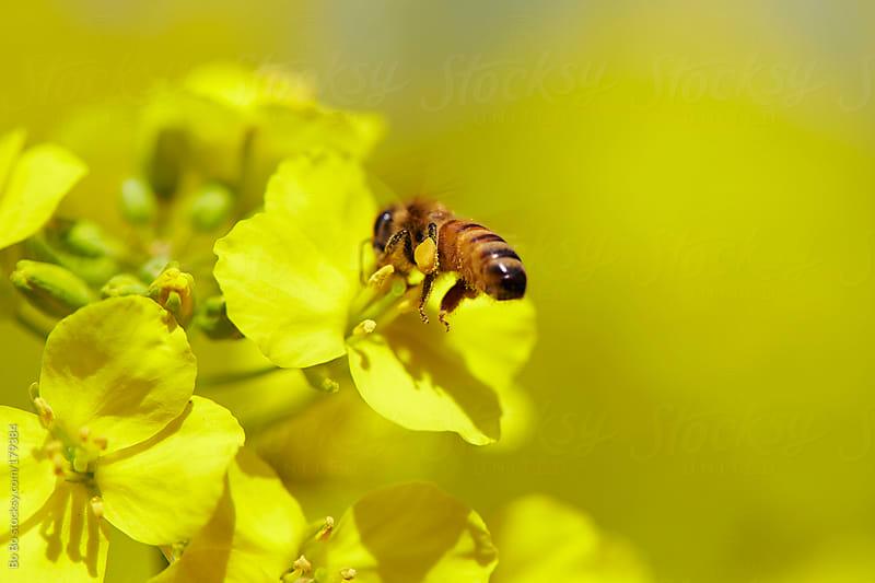 honey bee on flower by Bo Bo for Stocksy United