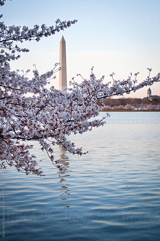Washington Monument Across Tidal Basin Framed by Cherry Blossoms by Brian McEntire for Stocksy United