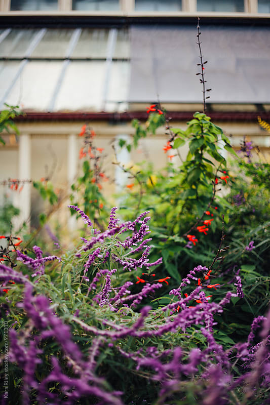 Wild lavender and flowers outside greenhouse by Kara Riley for Stocksy United