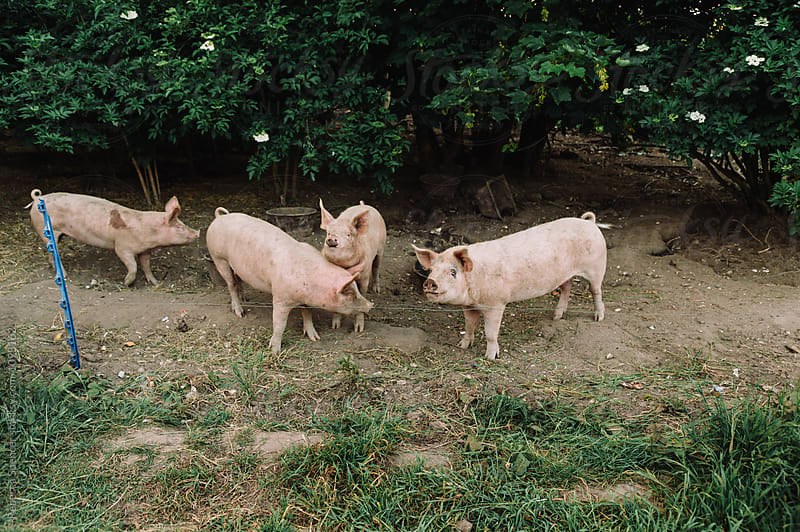 Pigs behind an electric fence by Rebecca Spencer for Stocksy United