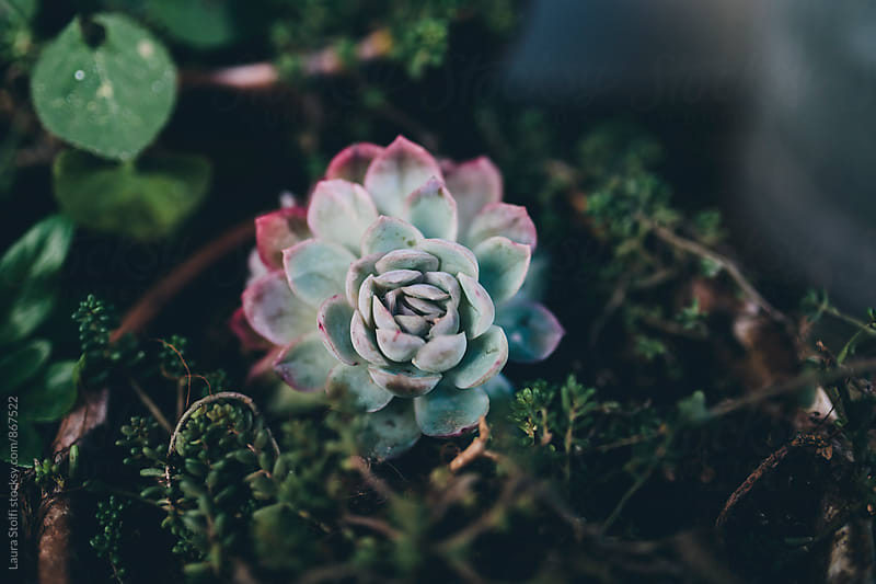 Overhead shot of Echeveria and other succulents in pot in winter by Laura Stolfi for Stocksy United