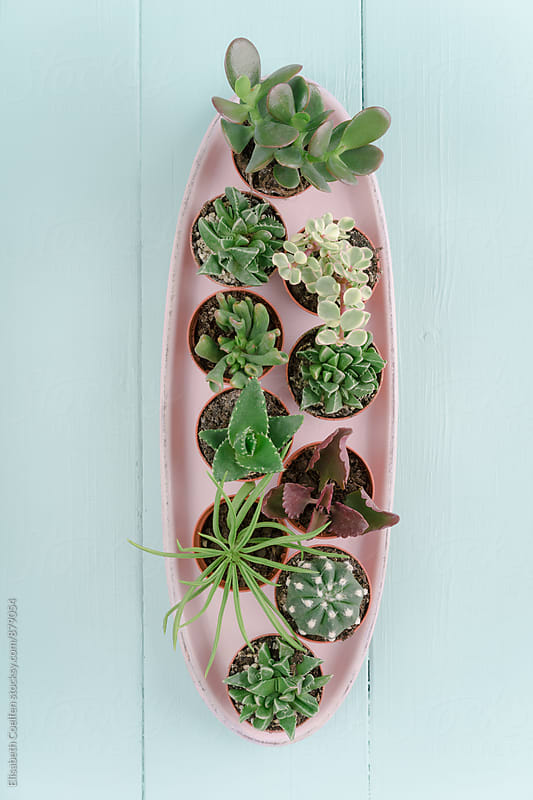 Mini potted succulents in pink platter by Elisabeth Coelfen for Stocksy United
