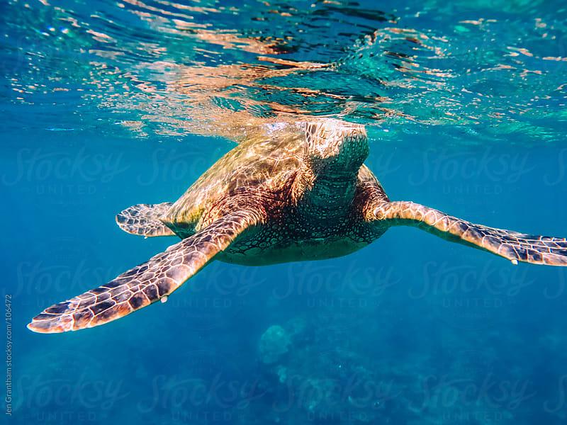 Sea Turtle by Jen Grantham for Stocksy United