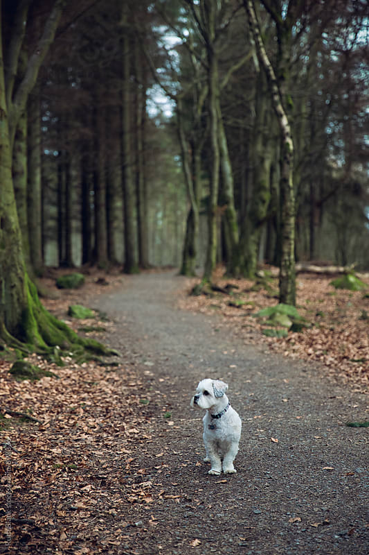 Lhasa apso in the forest by Ruth Black for Stocksy United