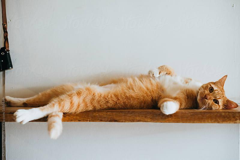 Fat cat on the wood bar