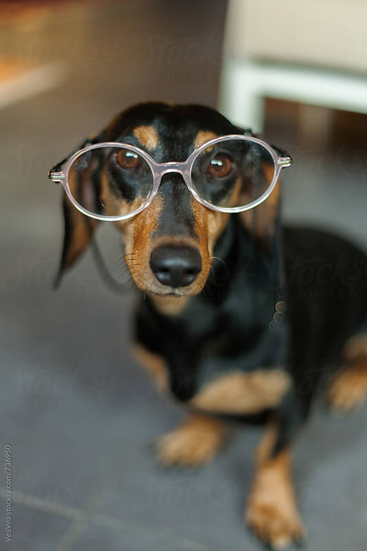 Cute dachshund wearing glasses looking at camera by Marija Mandic for Stocksy United