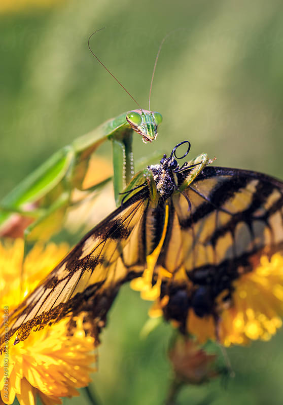 Praying Mantis catches a Monarch Butterfly by alan shapiro for Stocksy United
