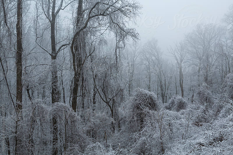 Snow covered trees and vines by Adam Nixon for Stocksy United