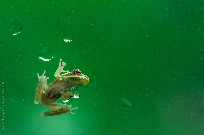Baby Tree Frog on a Rainy Florida Window by suzanne clements for Stocksy United