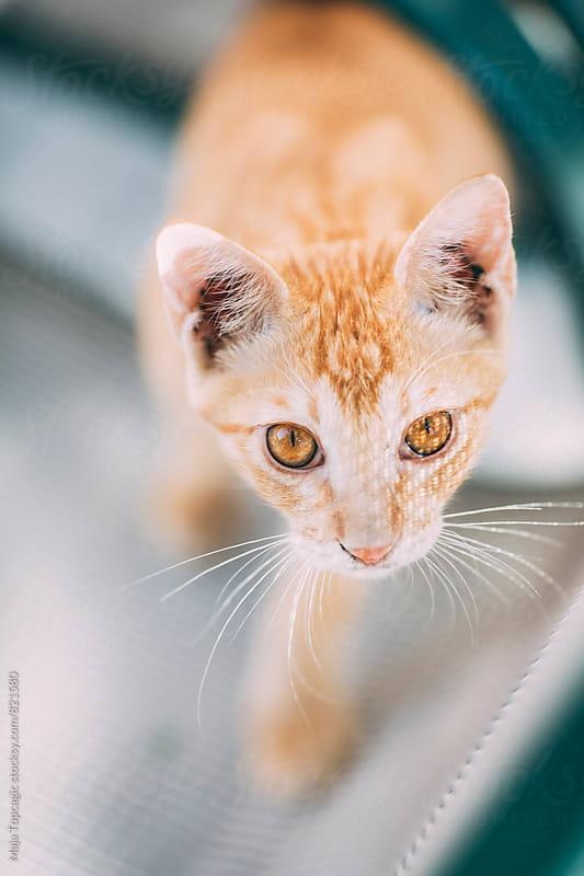 Wild orange cat outdoors by Maja Topcagic for Stocksy United