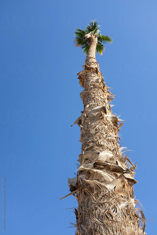 Unusual palm, Salton Sea, CA by Shannon Aston for Stocksy United