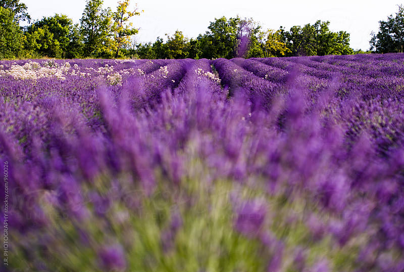 Field of Lavender by J.R. PHOTOGRAPHY for Stocksy United