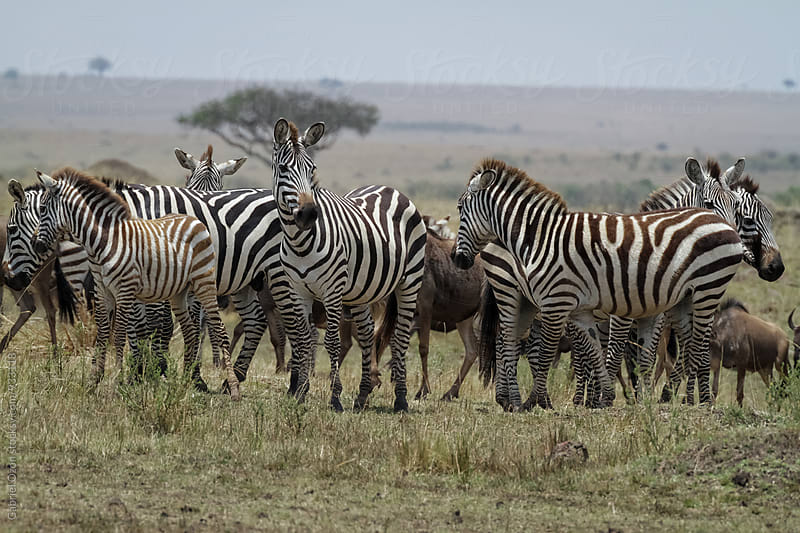 Herd of zebras by Gabriel Ozon for Stocksy United
