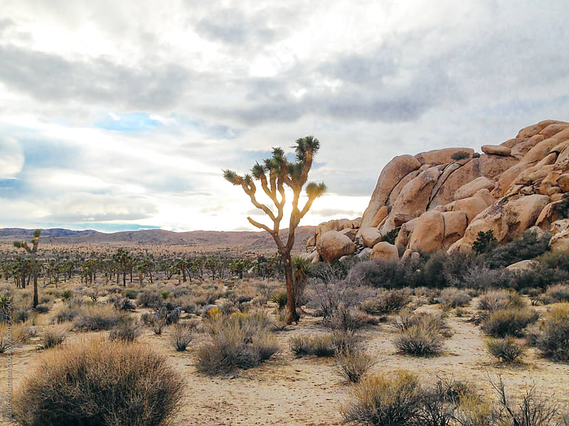 Solitary Joshua Tree At Sunset In Joshua Tree National Park by Luke Mattson for Stocksy United
